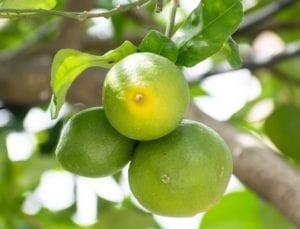 lemon, fruit, yellow