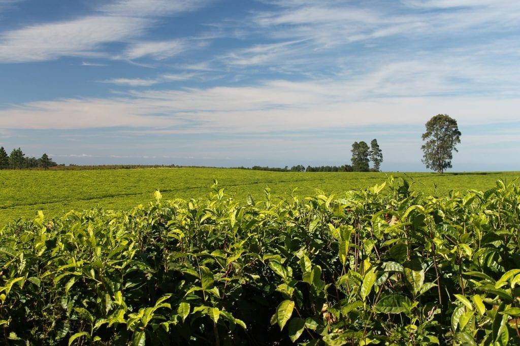 tea, plantations, greenery